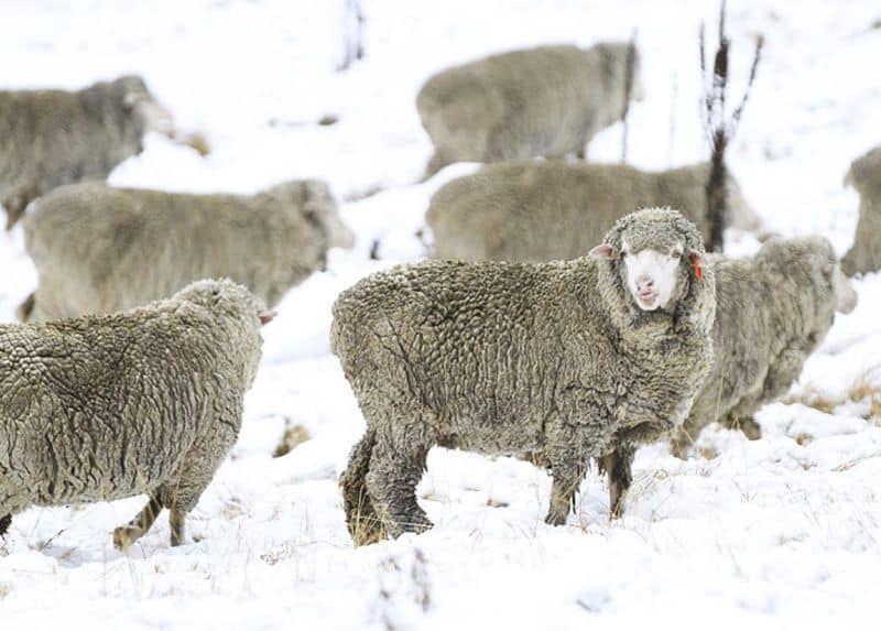 Woolx vs Icebreaker, Minus33 and Smartwool: Why this merino wool underdog might make sense